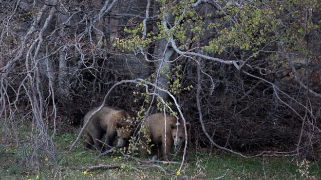 Arcturus: The two bear cubs Bradley and Cooper were released to the wild