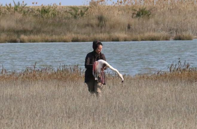Lead shot used by hunters a deadly threat for flamingos at Agios Mamas, Halkidiki